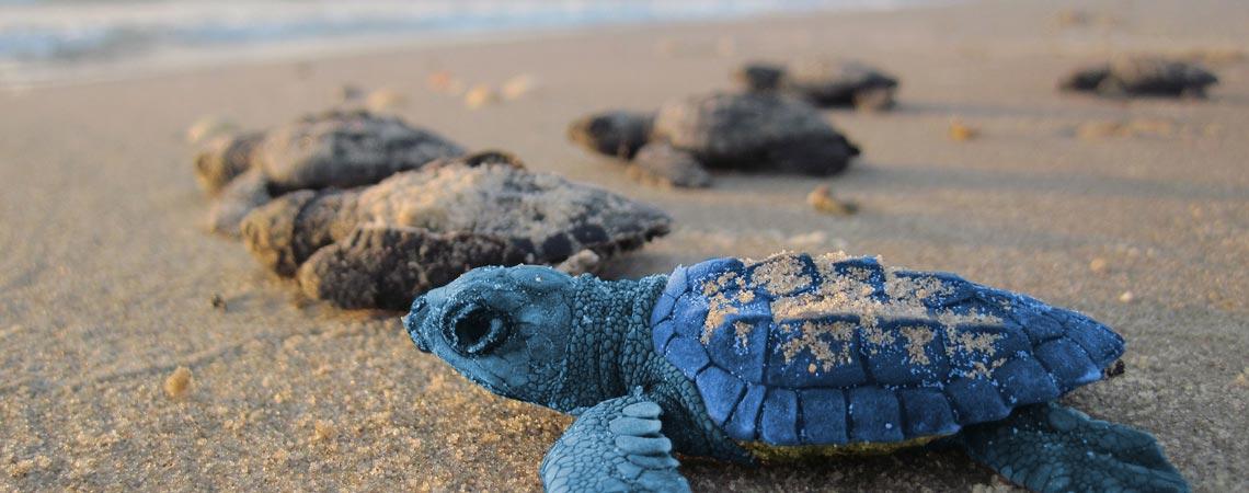 blOO, die Meeresschildkröte